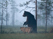 Суровая дружба бурого медведя иволчицы, вкоторую сложно поверить
